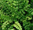 Asplenium trichomanes Maidenhair Spleenwort Plugs £2.45