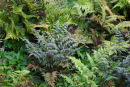 NEW! 10 Hardy ferns £37 including delivery