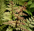 Athyrium otophorum  'Okanum' 9cm pot 3.95