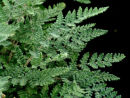 Cheilanthes tomentosa Woolly Lip Fern 9cm £4.95
