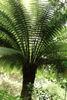 Dicksonia antarctica-Smooth Tree Fern Plug plant £2.95