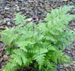 Dryopteris carthusiana - Narrow Buckler Fern