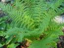 Dryopteris x complexa- Robust Wood Fern 9cm £4.50
