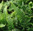 Dryopteris affinis 'Crispa Gracilis' Plug £1.95