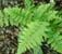 Dryopteris filix-mas Male Fern 9cm £3.95