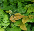Dryopteris labordei- Golden Mist Wood Fern  9cm £4.95