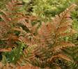 Dryopteris erythrosora Autumn Fern 9cm £3.95