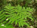 Osmunda japonica - Japanese Royal Fern