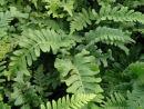 Polypodium vulgare 'Bifido-Multifidum' 9cm £3.95