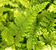 The very best evergreen fern collection- 7 named ferns £33.00 including delivery!