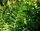 Polystichum munitum Western Sword Fern AGM plug £1.95