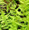 Thelypteris palustris - Marsh Fern plug