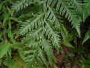 Woodwardia orientalis Oriental Chain Fern9cm £4.50