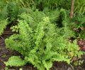 Dryopteris filix-mas 'Parsley'- Parsley Male Fern 9cm £4.95