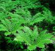 Dryopteris crasshirizoma Thick-Stemmed Wood Fern 9cm £3.95
