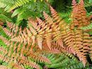 Dryopteris erythrosora 'Brilliance'-  Brilliant red Buckler Fern Plug £3.25