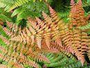 Dryopteris erythrosora 'Brilliance'-  Brilliant red Buckler Fern Plug £3.25
