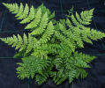 Dryopteris intermedia-Fancy Fern 9cm £4.50