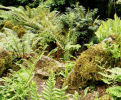 7 hardy ferns £29.00 including delivery