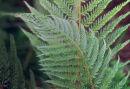 Polystichum setiferum 'Pulcherrimum Bevis' 9cm £6.95