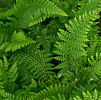 Polystichum setiferum . 'Dahlem' 9cm £3.95