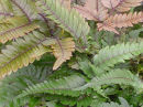 Pteris quadriaurita 'Tricolor'- Painted Brake Fern plug £2.75