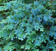 Selaginella uncinata-  Rainbow Spikemoss- Out of stock