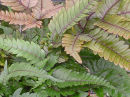 Pteris quadriaurita 'Tricolor'- Painted Brake Fern 9cm £3.95