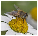 Bee on daisy 1