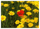 Corn Marigolds &amp; Common Poppy-A feast of colour
