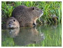 Coypu.