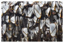 Goose Barnacles