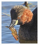 Little Grebe with Stickleback