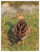 Pectoral Sandpiper 2