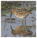 Pectoral Sandpiper
