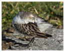 Semipalmated Sandpiper.