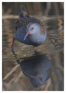 Water Rail 3