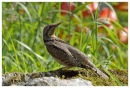 Wryneck 3
