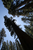 Giant Sequoias, California
