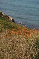 Wildflowers, north Cornwall coast