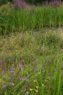 Reeds and purple loosestrife