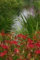 Daylilies and purple loosestrife