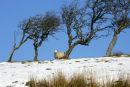 Solitary sheep at North Ayrshire