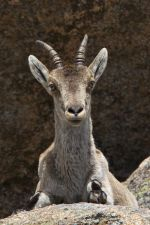 Spanish Ibex Closeup