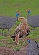 Juvenile Tawny Eagle & Helmeted Guinea Fowl