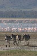 Zebra & Flamingoes
