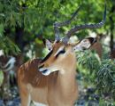Black Faced Impala Buck