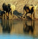 Desert Adapted Elephants at the waterhole