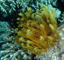 Golden coloured Feather star