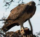 Marshall's Eagle